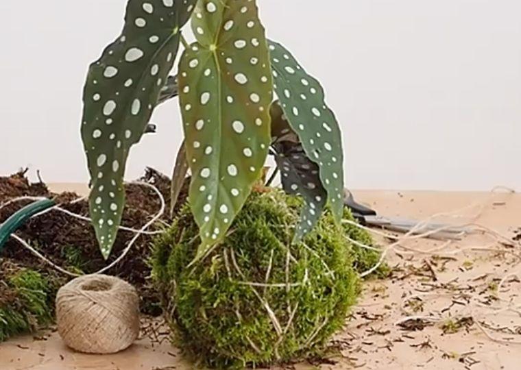 workshop-online-kokedama-con-la-begonia-maculata